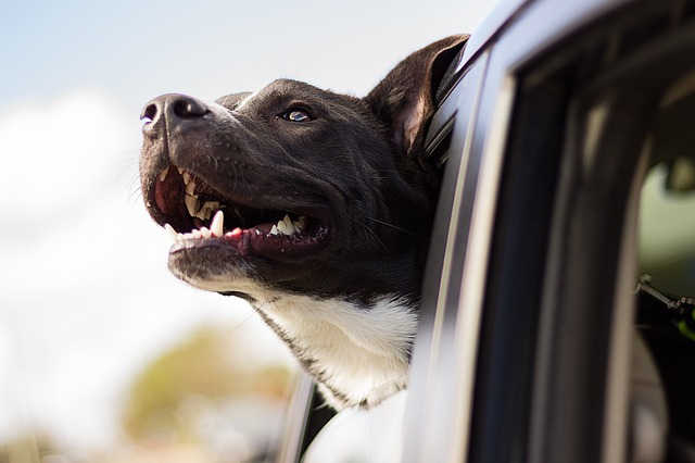 a dog sniffs the air with its head out the car window
